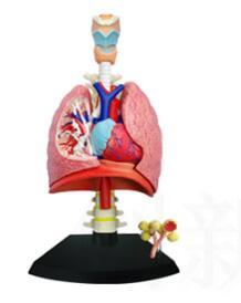 Le modèle d'anatomie pulmonaire 4D se compose de 21 parties, le modèle du système respiratoire