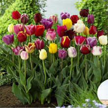 100Pcs Tulip Seeds colorful tulipa Gesneriana flower potted rainbow bonsai Plant Planting Seasons Flowering Home Garden Supplie
