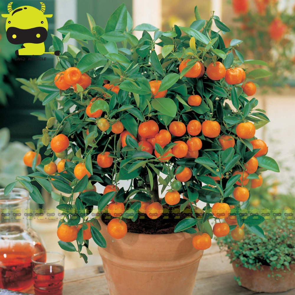 Fresh Potted Orange Tree Seed, 10 Seeds/Pack, Thin-skinned, Ultra-juicy Edible Fruit Seed Perennial Dwarf Plants
