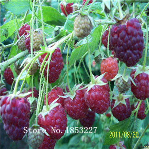 2015 Bonsai raspberry Seeds 100pcs 10kinds mix Fruit Seeds Novel Plant for Garden Free Shipping