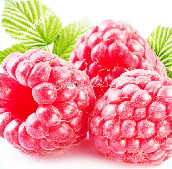 100+ Pre-stratified Raspberry SEEDS Free Shipping