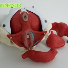 Модель женских тазовых и женских органов шунзаора, мышца тазового дна женского мочевого пузыря. Реабилитационные, медицинское оборудование