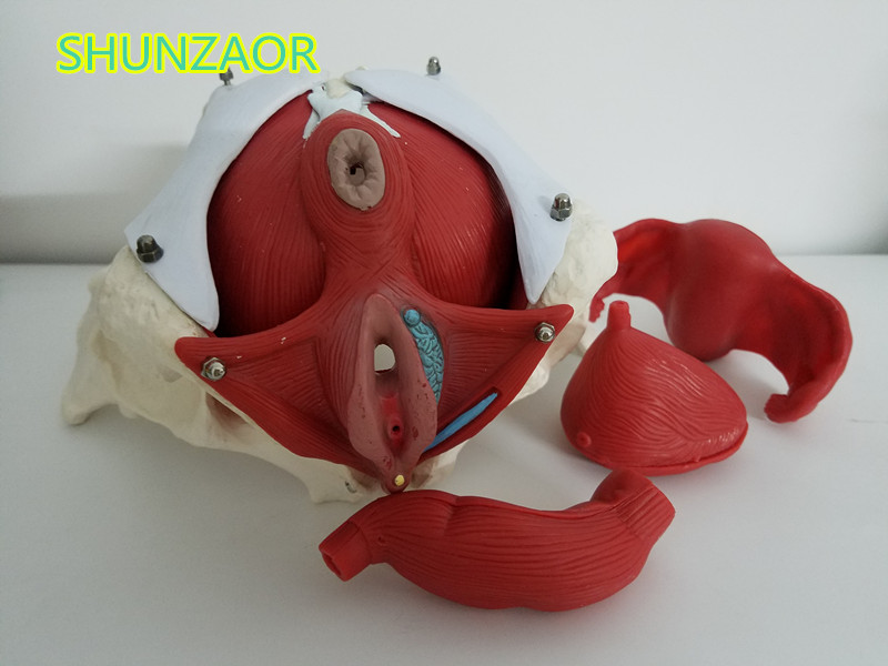 SHUNZAOR Female pelvis and reproductive organs model,Female bladder pelvic floor muscle. Rehabilitation, medical male genital organs male genitalia anatomical model structure male reproductive organs decomposition model