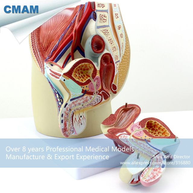 12439 Cmam Anatomy01 Life Size Male Pelvis Section Anatomical Model