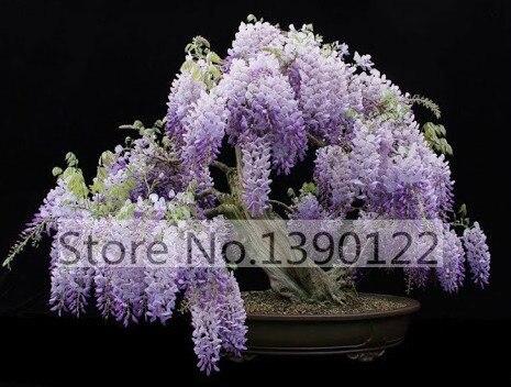 Buy 10 bag mini wisteria bonsai seeds for Glicine bonsai prezzo