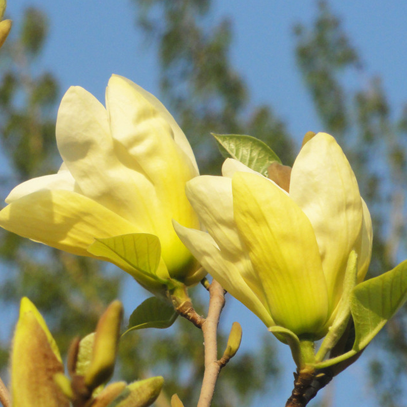 Forest Seeds Yellow Magnolia Perennial Flowers Potted Plants Tree 30pcs China
