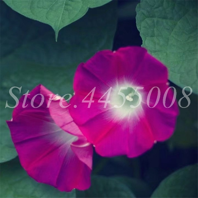 100 pz Attaccatura Del Fiore Misto Morning Glory Bonsai Raro Colore Petunia Fiore Pianta In Vaso per la Casa Garden Decor Facile Crescere