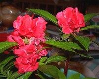 3 упак. сад бальзам семян / 1 упак. 30 семена бальзамин баалшамина сад семени а011 для подарка