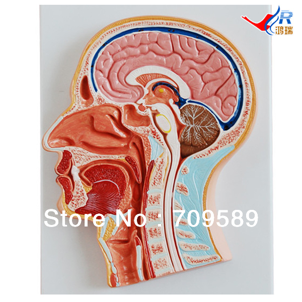 ISO Median Section of Head Model, Anatomical Head Model human median section of head oral pharynx anatomical model medical skeleton
