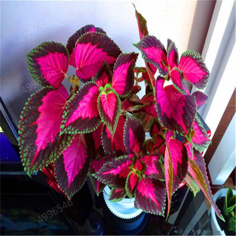 100 шт большая продажа Радуга лист растений цветные листья трава Колеус бонсай цветок холодной толерантности горшок растения бесплатная доставка