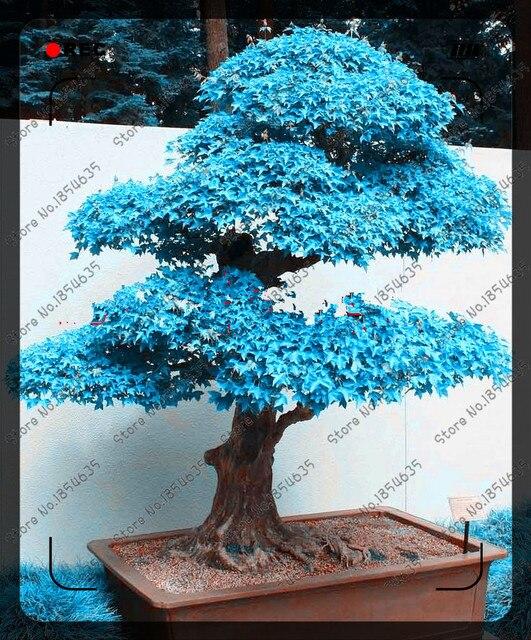50pcs/bag blue maple tree seeds rare Canada bonsai Purple Maple Bonsai  Plants Trees for