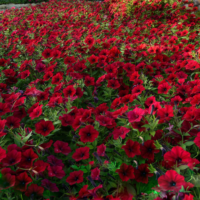 Dark red velour petunia 100pcs cold hardy heat tolerant beautiful dark red velour petunia 100pcs cold hardy heat tolerant beautiful flowers mightylinksfo