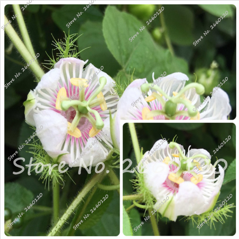 Распродажа! 100% правда лобелия Редкие Indoor цветок в бонсай горшках хлорофитум цветок для многолетних дома садовых растений 100 шт.