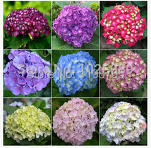 100pcs/pack hydrangea seeds, potted balcony, planting is simple, budding rate of 95%, radiation absorption, mixed colors 49%