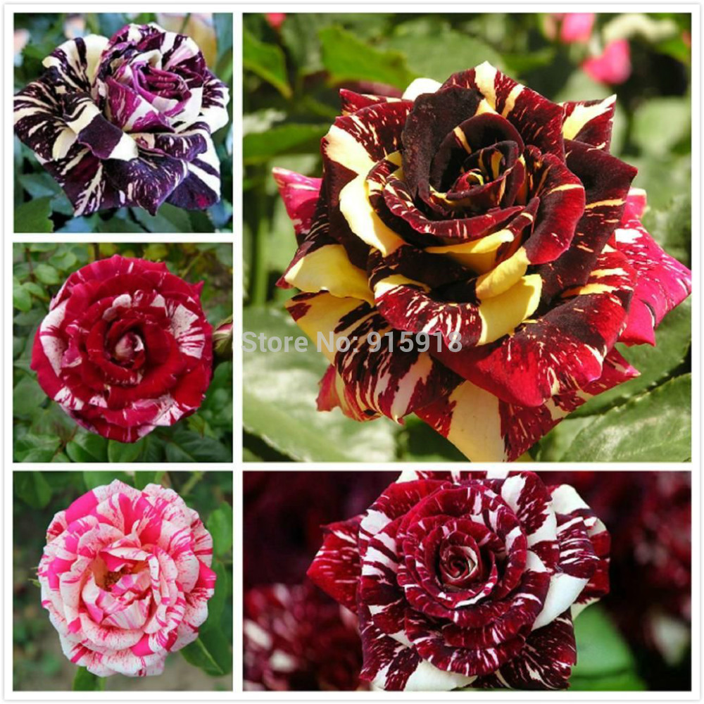 Rose flower seeds 5 Different Colored Striped Rose Seeds 200 of Each ...