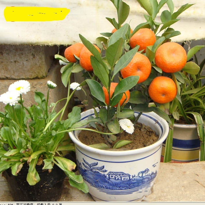 20seeds/bag Balcony Patio Potted Fruit Trees Planted Kumquat Seeds Orange Seeds Tangerine Citrus ...