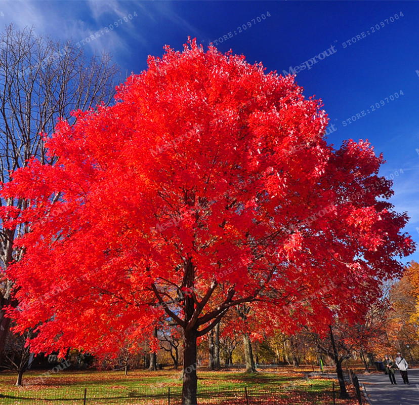 20pcs Bonsai American Acer Palmatum Red Maple Tree Bonsai Home