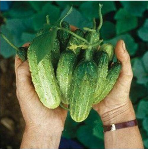 20 ústa Chrumkavé semena okurky nové odrůdy ovoce a zeleniny, celá samice Salát semena, doprava zdarma