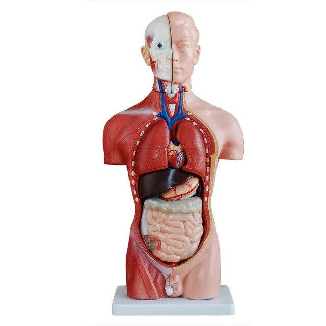 45 cm menschlichen torso Innereien modell Abnehmbare Menschlichen ...