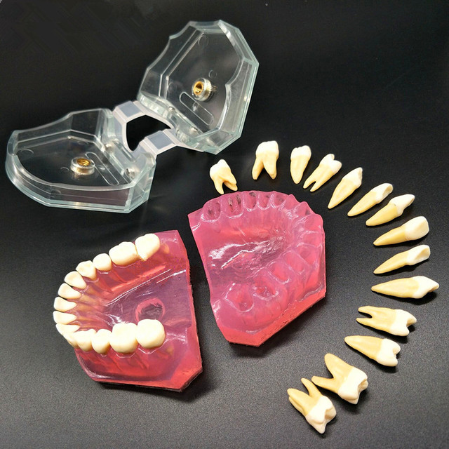 Modèle denseignement dentaire modèle Standard dents amovibles gomme souple modèle de TYPODONT adulte