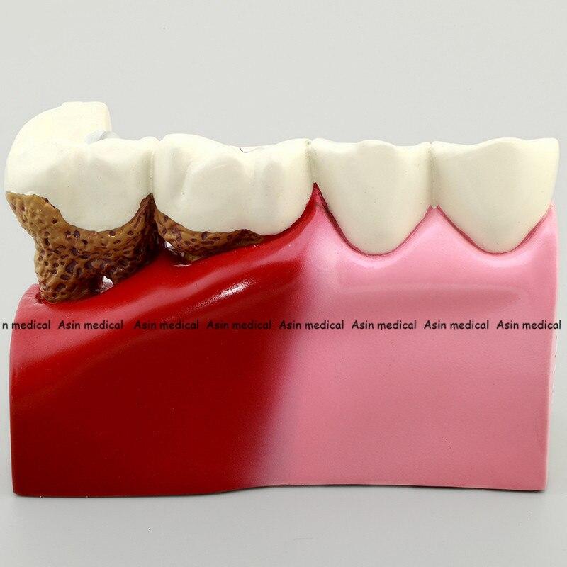 comunicação anatomia modelo odontologia detalhes ricos auxiliares de ensino equipamento