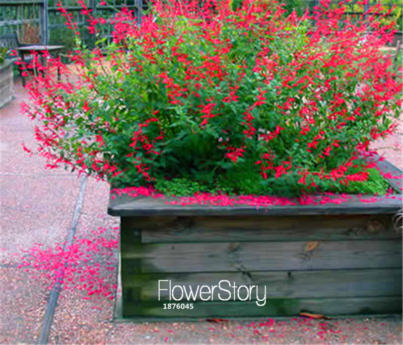 100 Seeds A Pack New Arrival!Pineapple Sage, Salvia elegans, Bonsai Flower Seeds DIY home garden