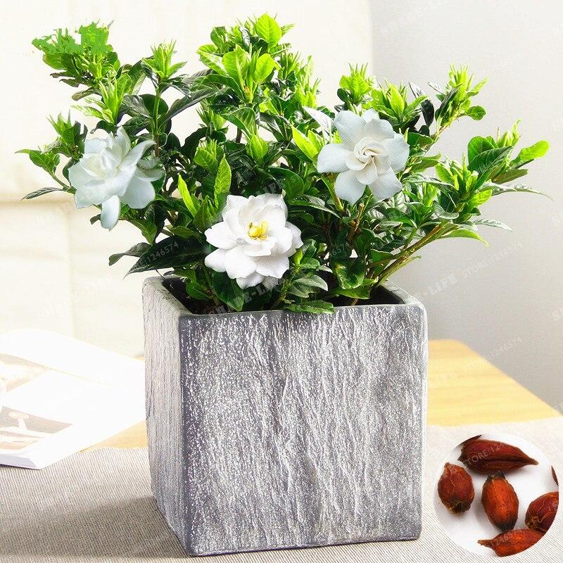 Гардения карликовые деревья (плащ-Жасмин) удивительный запах красивые цветы редкие для комнатных растений экзотический кустарник 2 шт