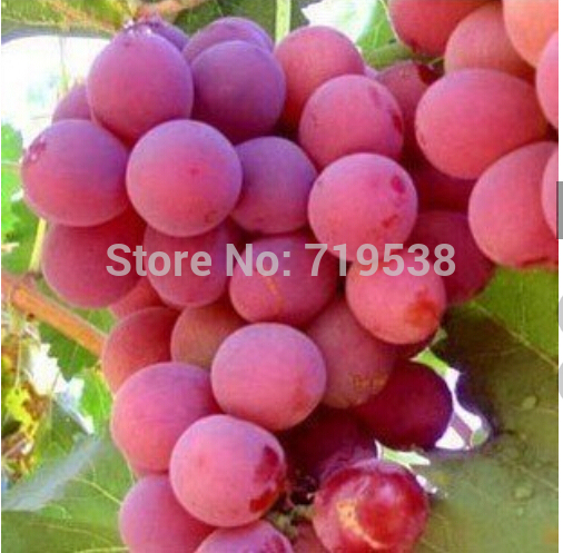 Hot Sell giant pink grapes rare 10 seeds fruit seeds