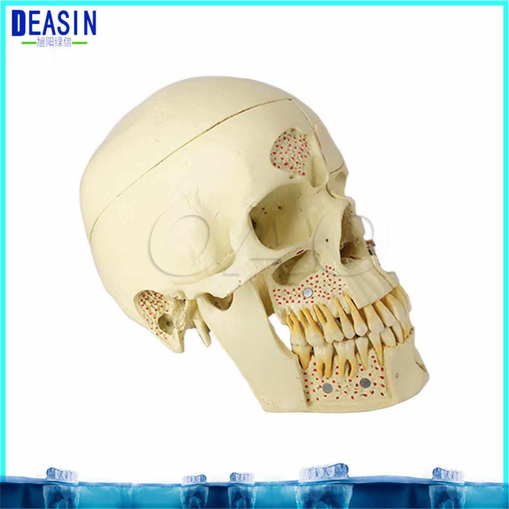 2018 skull model extraoral model dental tooth teeth dentist anatomical anatomy model odontologia  [ 1000 x 1000 Pixel ]