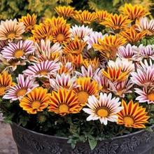 Medallion Chrysanthemum  Flower bonsais Perennial Landscape Garden Courtyard Heat Resistant 20pcs (xun zhang ju)