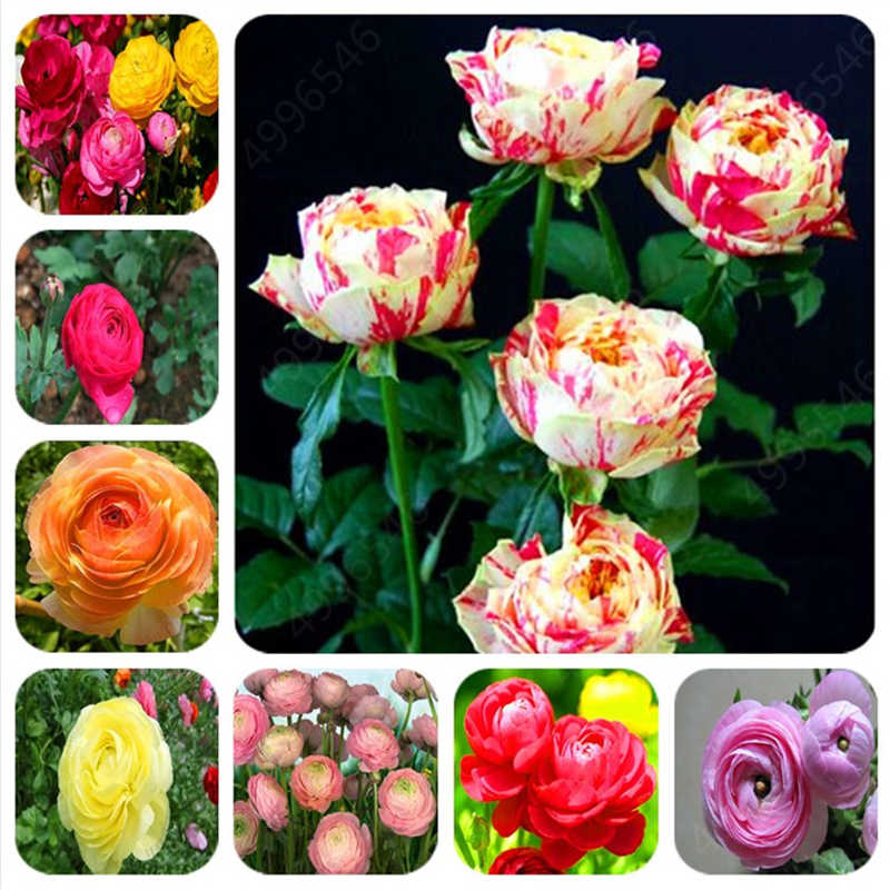 Hot Sale 1000 Pcs mixed Ranunculus  Flower For Home & Garden DIY Plants Persian Buttercup  home and  garden Flower Plant