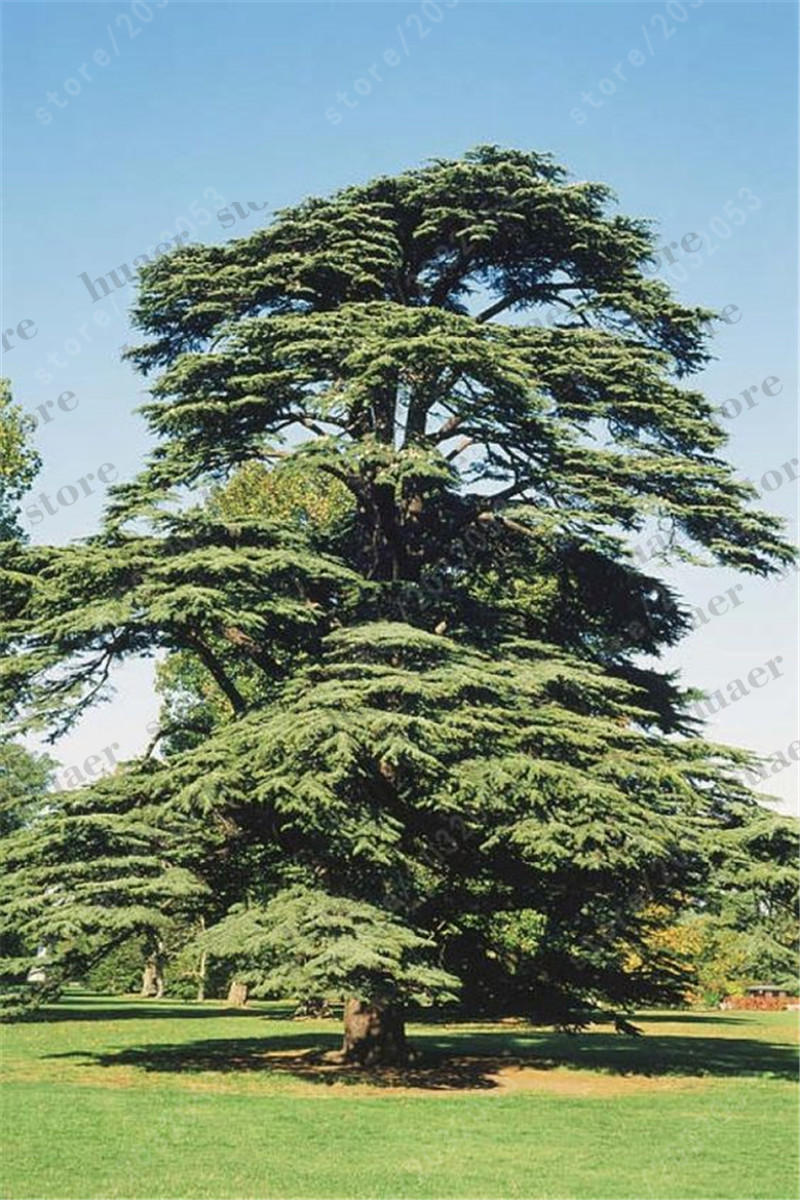 Image 2 - 100 PCS/bag Sacred Japanese Cedar bonsai ornamental tree for home garden-in Bonsai from Home & Garden