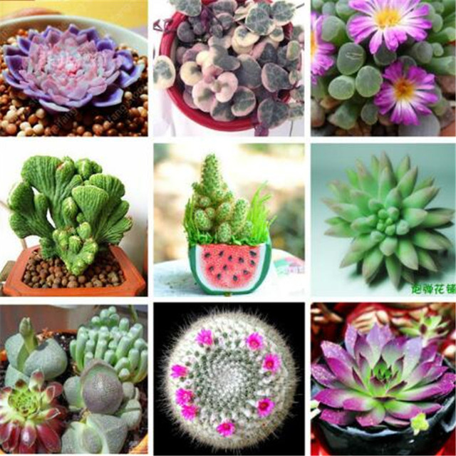 German Potted Flowers Succulent  Seeds (500 Pieces)