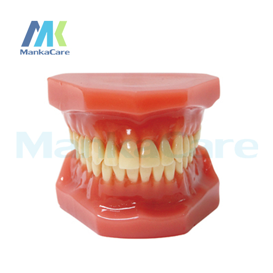 Manka Care -  28 pcs Tooth, Orthodontic Model Without bracket Oral Model Teeth Tooth Model