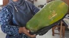 Rare Giant Papaya Seeds, 20pcs/pack