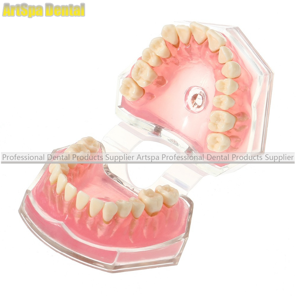 Dental Standard Demostration Model With Removable Teeth Soft Gum For Oral Care Medical Science Study Teaching 2016 new arrival 1pieces dental standard teaching model with removable teeth free shipping