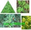 Secas té de Artemisia annua 100 natural a base de hierbas chino qing hao enfriamiento calor de tratamiento contra el paludismo de la ictericia