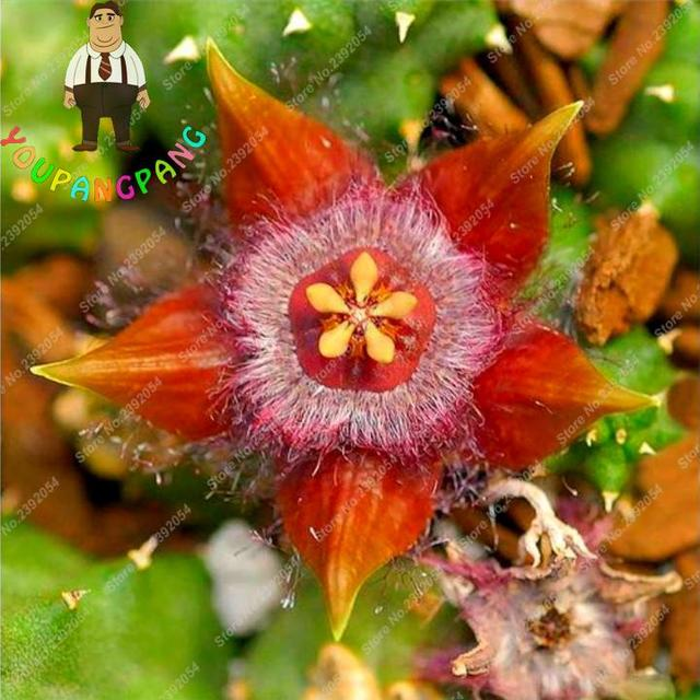 Exotic Rare Cactus Bonsai Stapelia Pulchella bonsai Lithops Mix Succulents For Home Garden Flower bonsai 200 Pcs