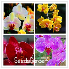Buy   Pack, Rare Butterfly Orchid Seeds,#UNYWLG  online