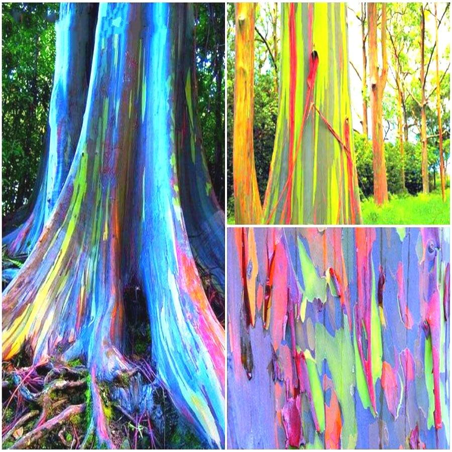 50-eucalipto-Deglupta-rbol-una-bolsa-arco-iris-rbol-gigante-cucaracha-repelente-al-Color-de-la