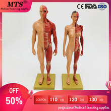 2pcs 30cm Male and female human muscle anatomical model skeleton Flesh anatomy CG bone anatomical  model iso anatomical larynx model with toungue and teeth laryngeal model
