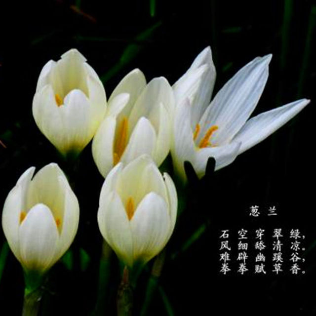 Zephyranthes Candida Seed, Onion Orchid Seeds, 100pcs/pack