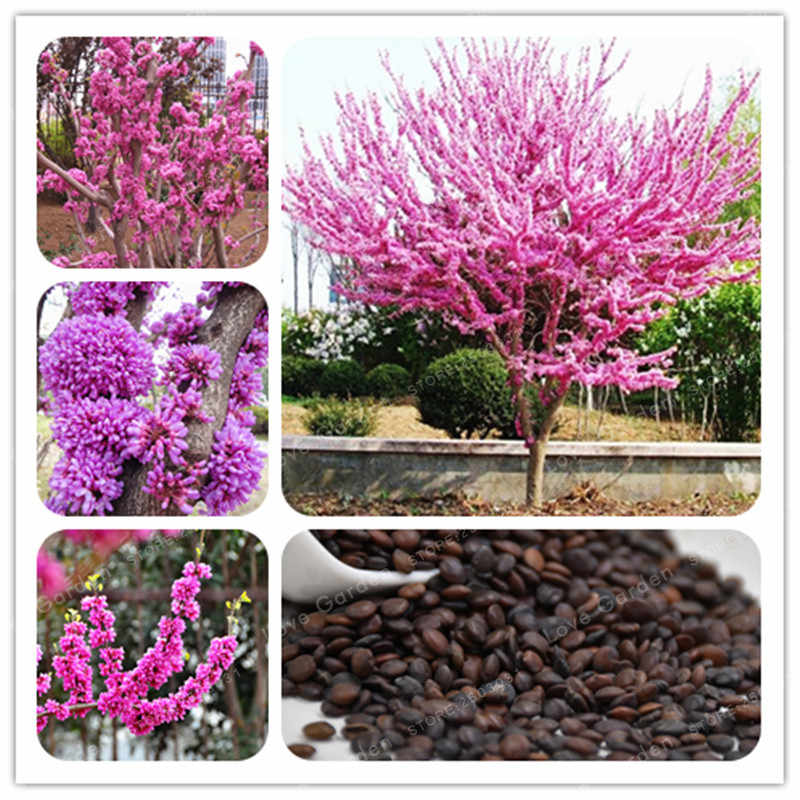 50 Pcs/Bag Bauhinia plant Cercis Chinensis Bonsai Flower plant Chinese Redbud Tree Bonsai Nature Potted Plants For Home Garden