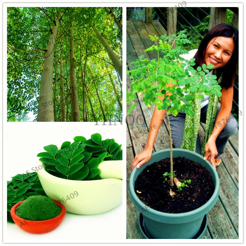 Discount For Cheap Moringa Tree And Get Free Shipping Dfk50976