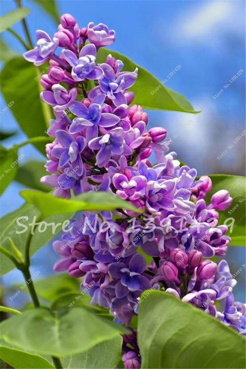 Purple Lilac Flower Tree Seeds Clove Flower Seeds 50pcsbag