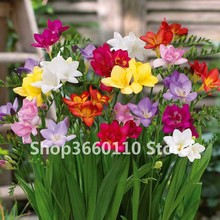 100 pcs/bag Seedsplants Freesia Plant, Flower Bonsai Bulbs Flowers Orchid Rhizome bulbous flowers