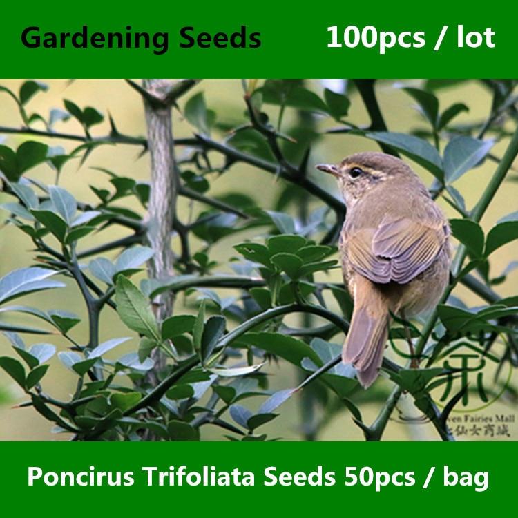 ^^Hedgerow Poncirus Trifoliata Gardening ^^^^ 100pcs, Family Rutaceae Trifoliate Orange ^^^^, Ornamental Plant Gou Ju Tree ^^^^