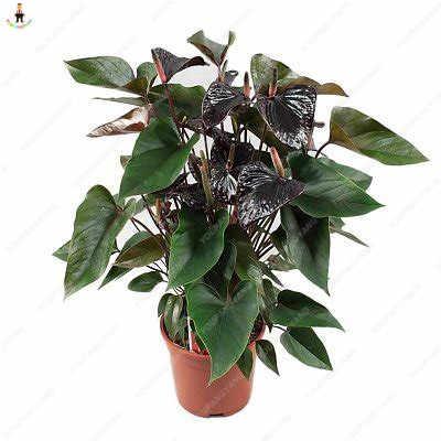 50 ピースアンスリウム植物美しい虹アンスリウム庭の花高生存率盆栽木の庭の装飾