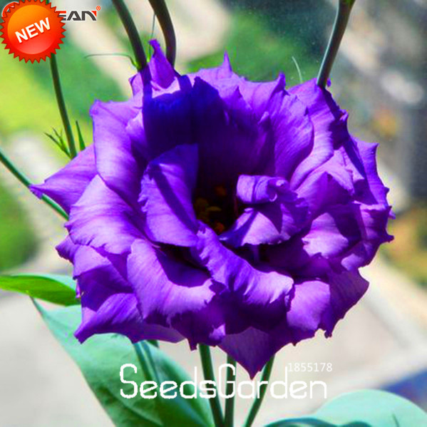 Time-Limit!!Purple Eustoma Seeds Perennial Flowering Plants Lisianthus for DIY Home Garden,100 Seeds/Lot,#0BF7HD