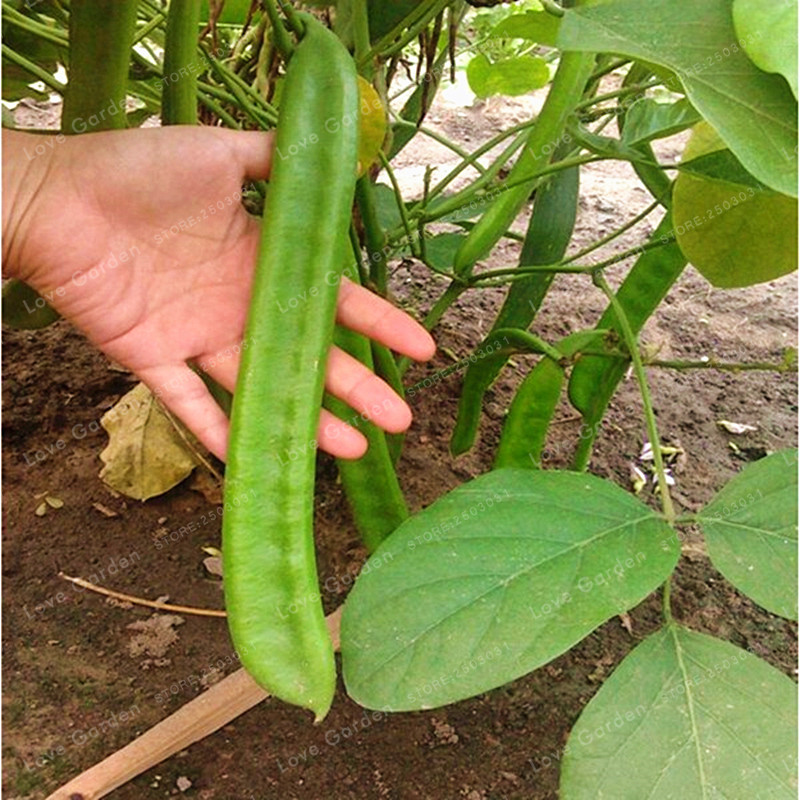 Canavalia Gladiata Bonsai Red Sword Beans Chinese Knife Bean  Organic Ornamental Vegetable Seeds Outdoor Plants 5 Bonsai /Bag